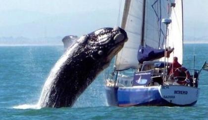 video du voilier attaqu par une baleine de 40 tonnes un blog de bretagne. Black Bedroom Furniture Sets. Home Design Ideas